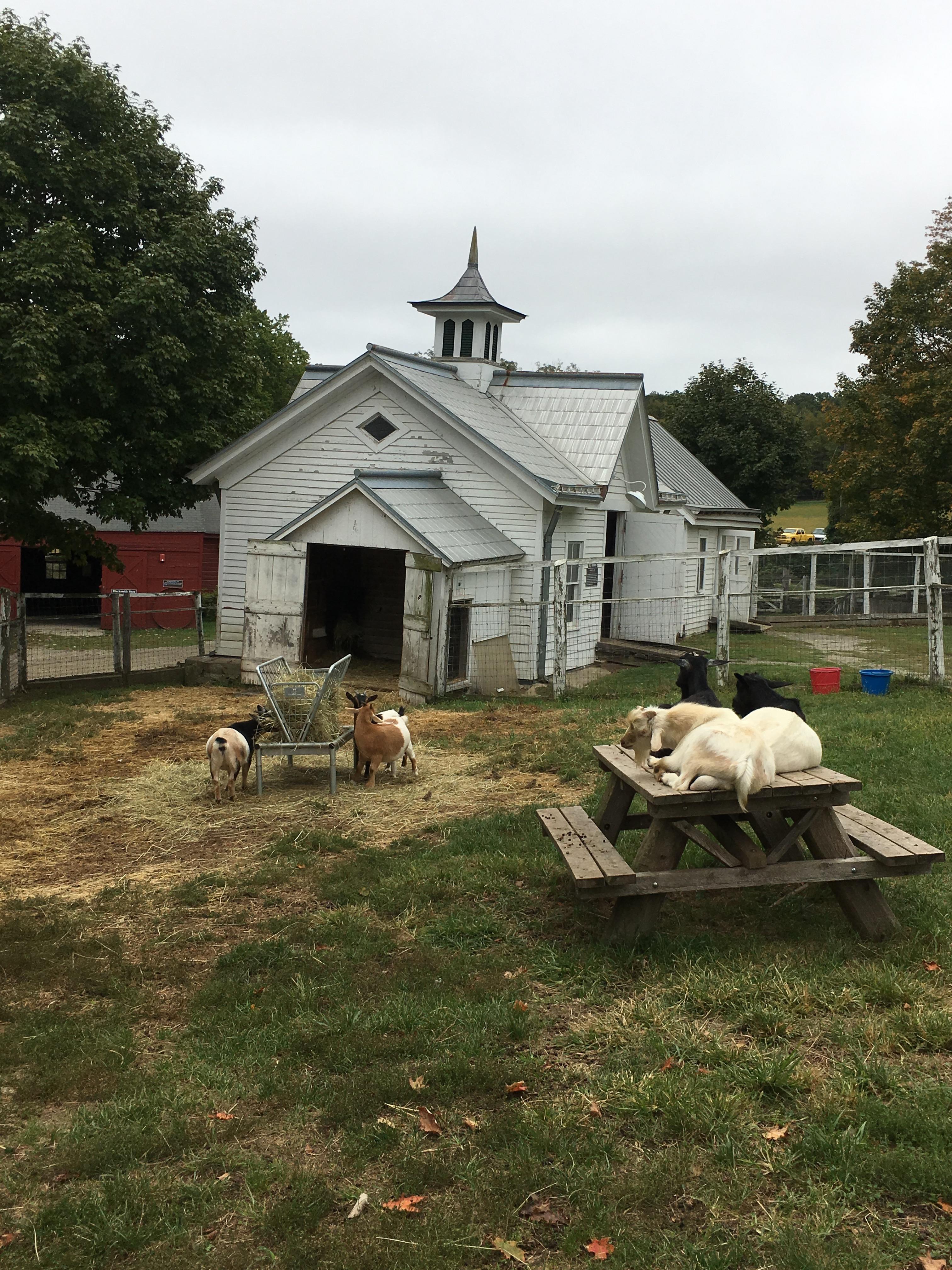 muscoot farm goat