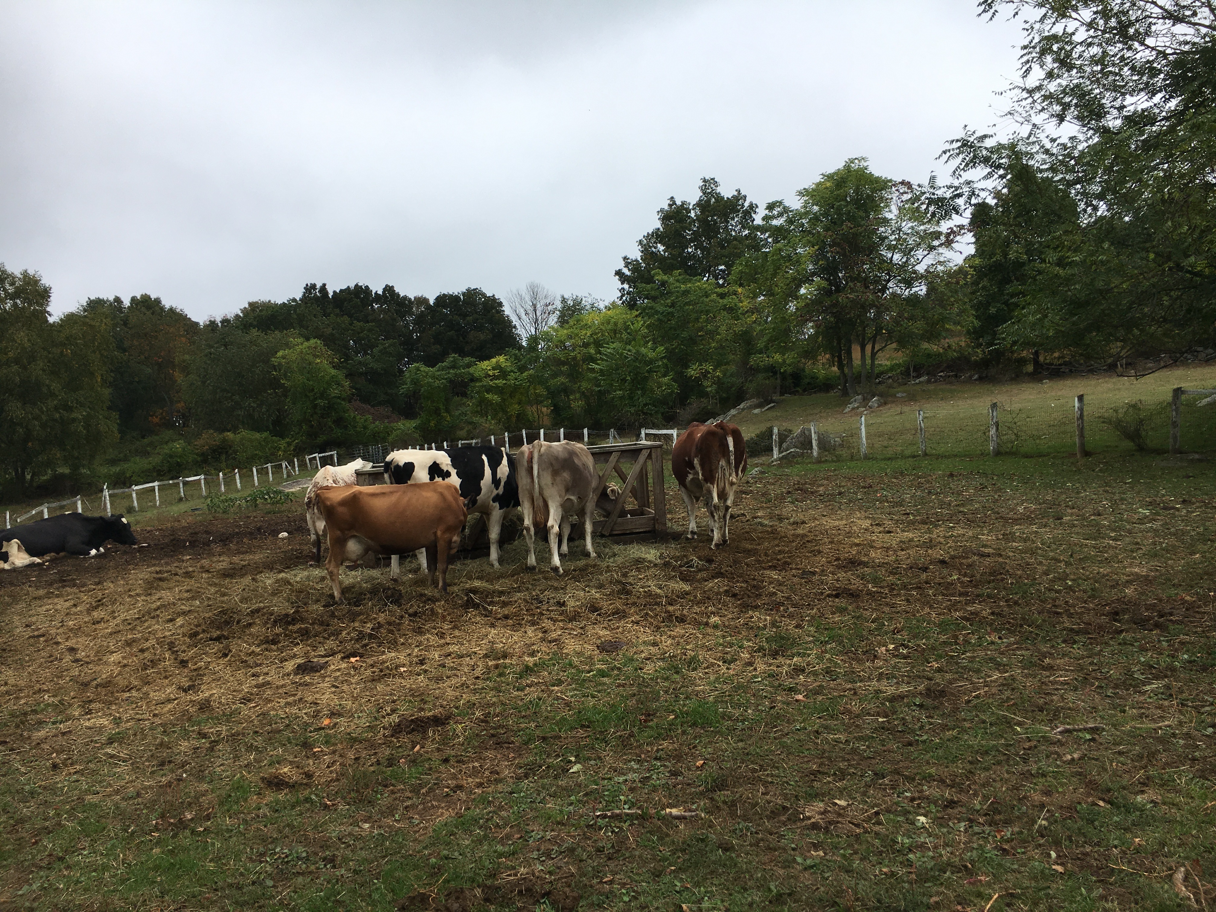 muscoot farms cows