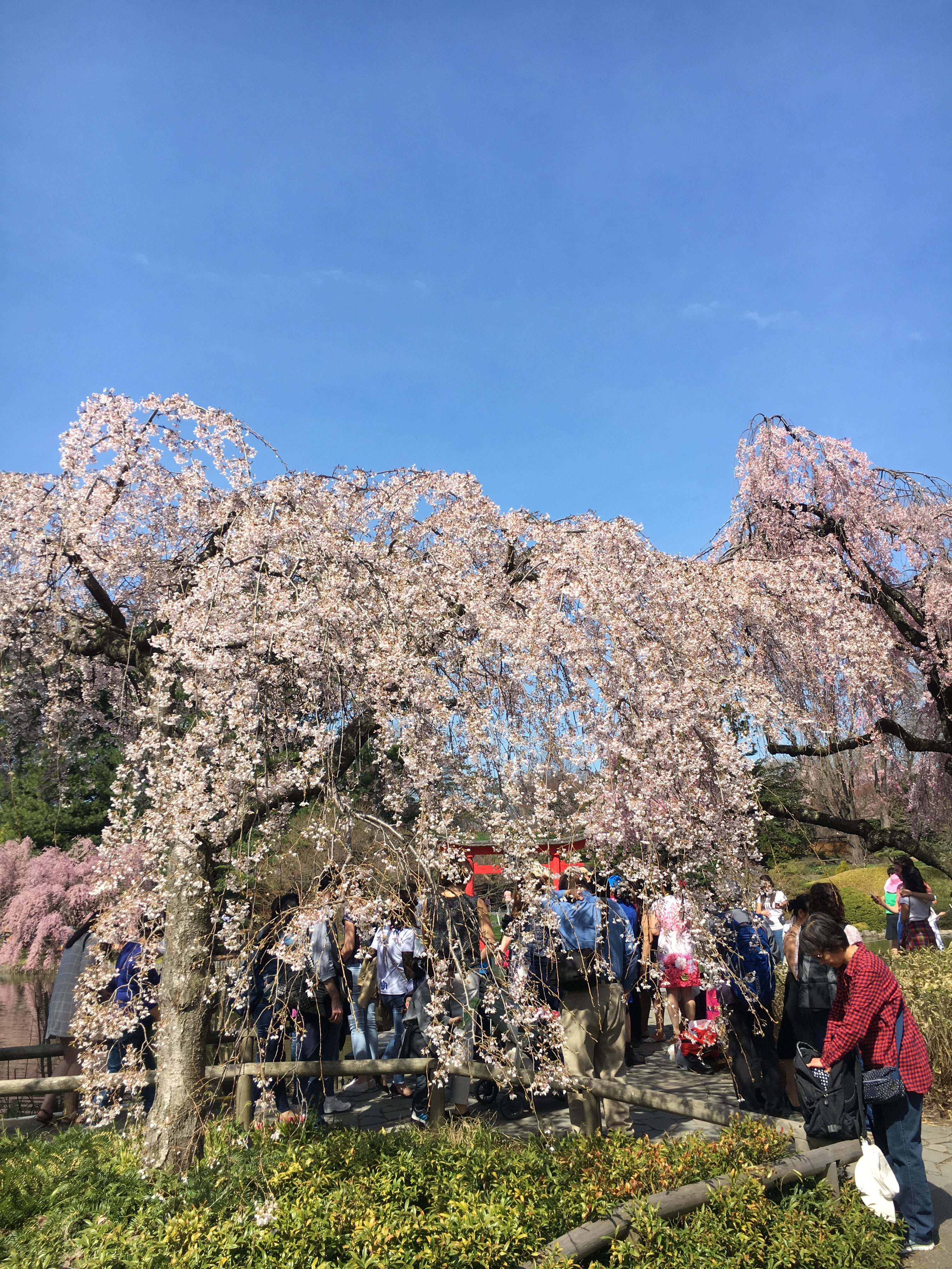 trees at brooklyn botanic garden