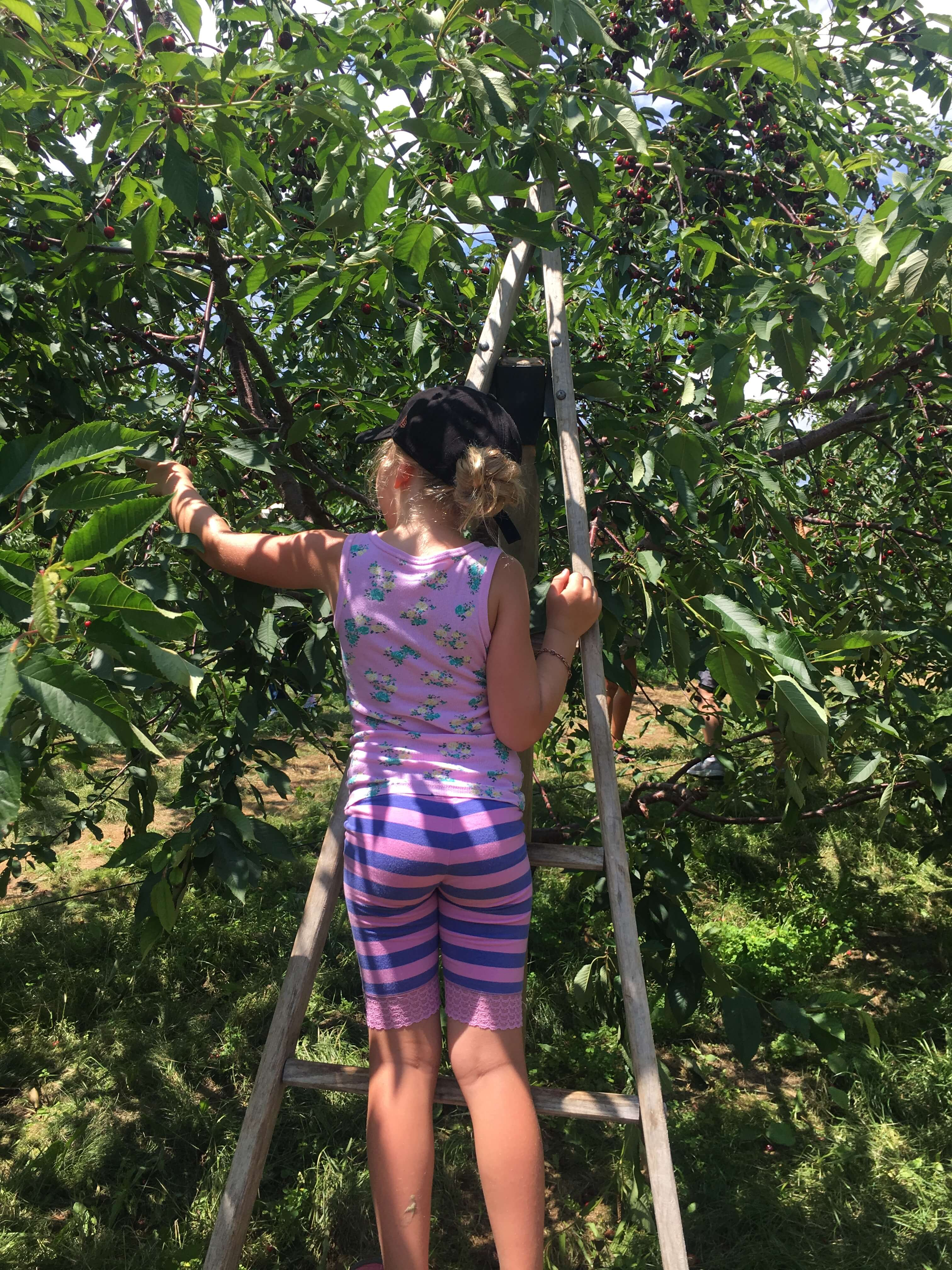 picking cherries fishkill farms