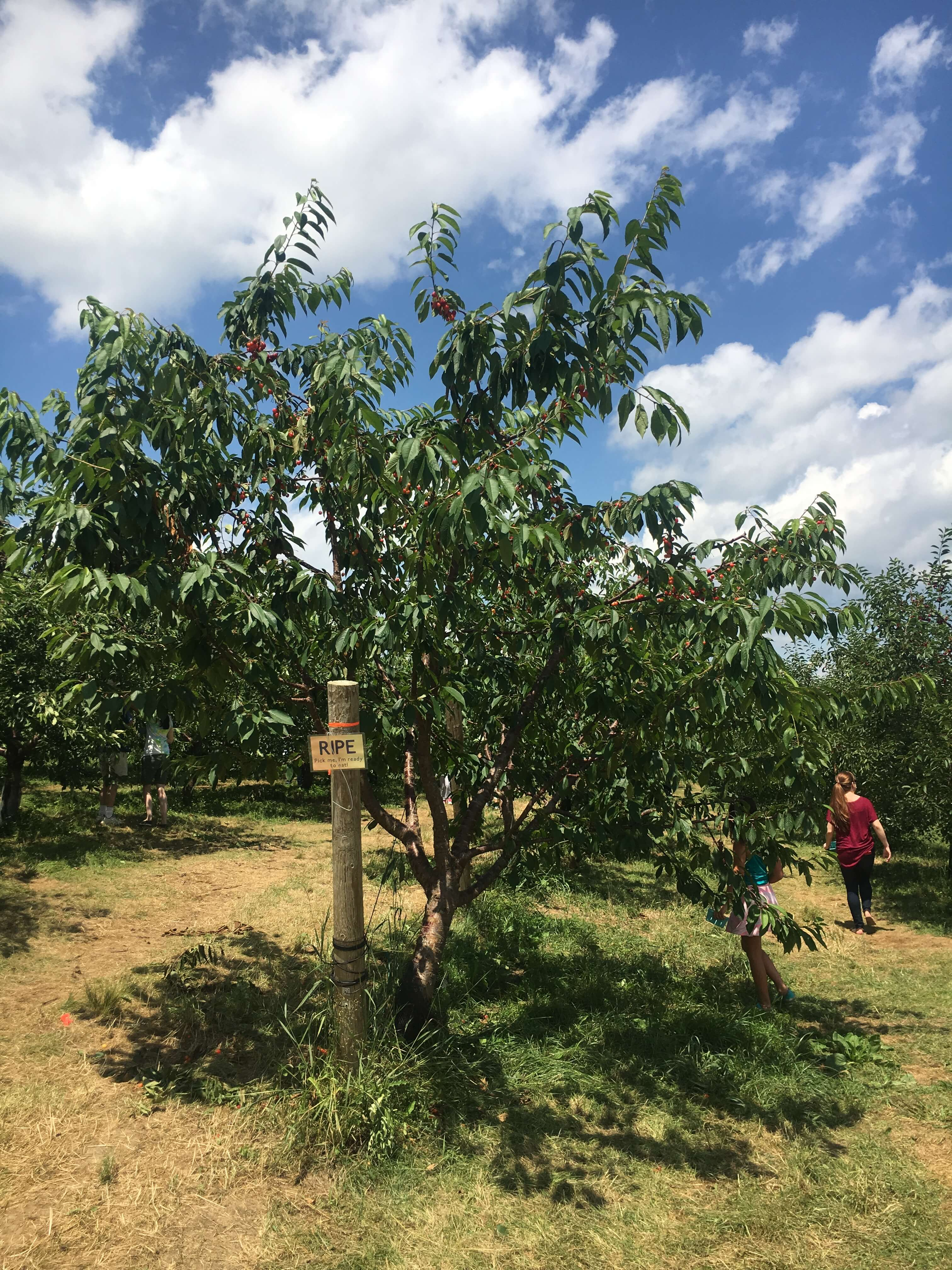 fishkill farms cherry farm