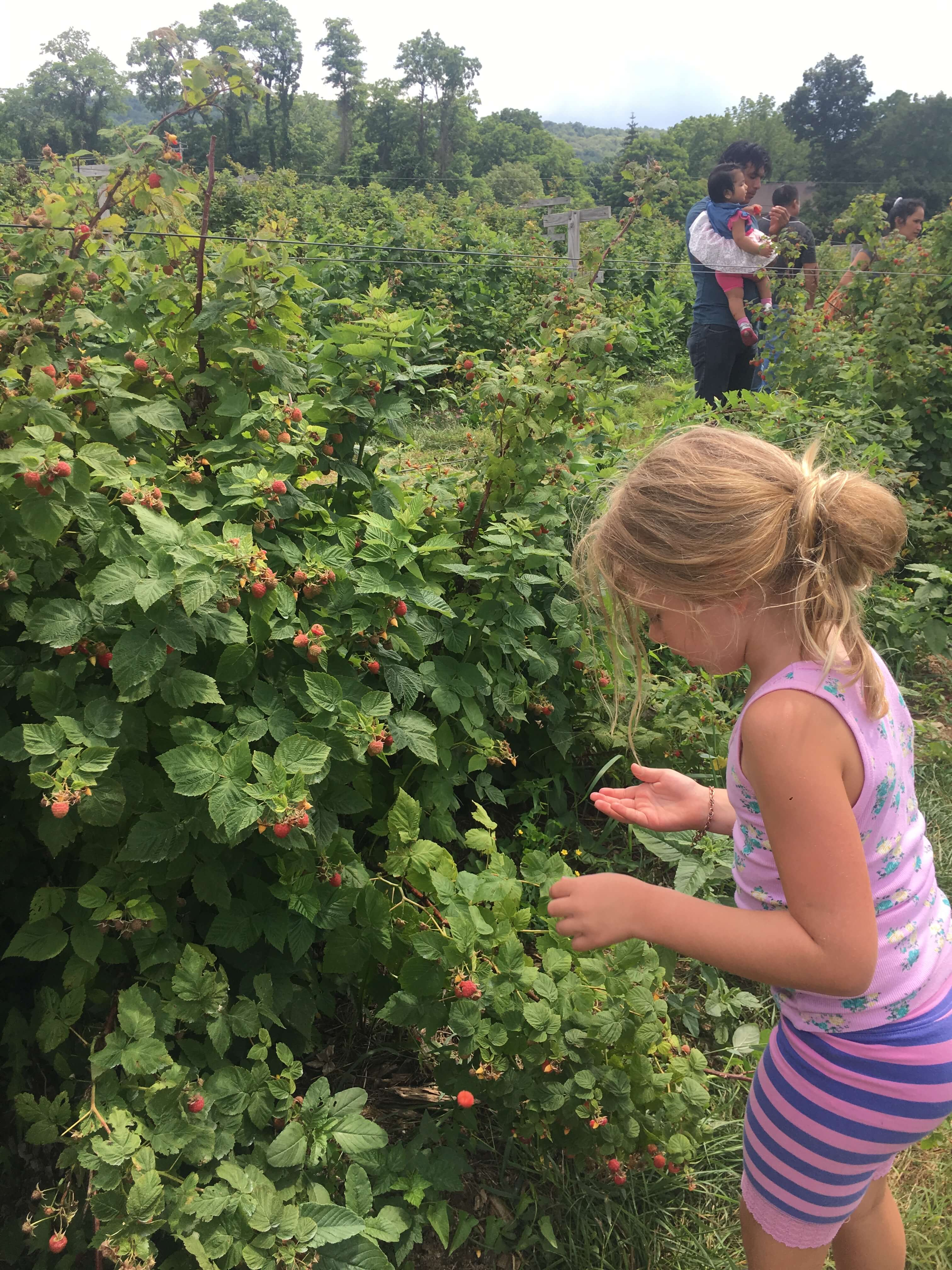 fishkill farms raspberries