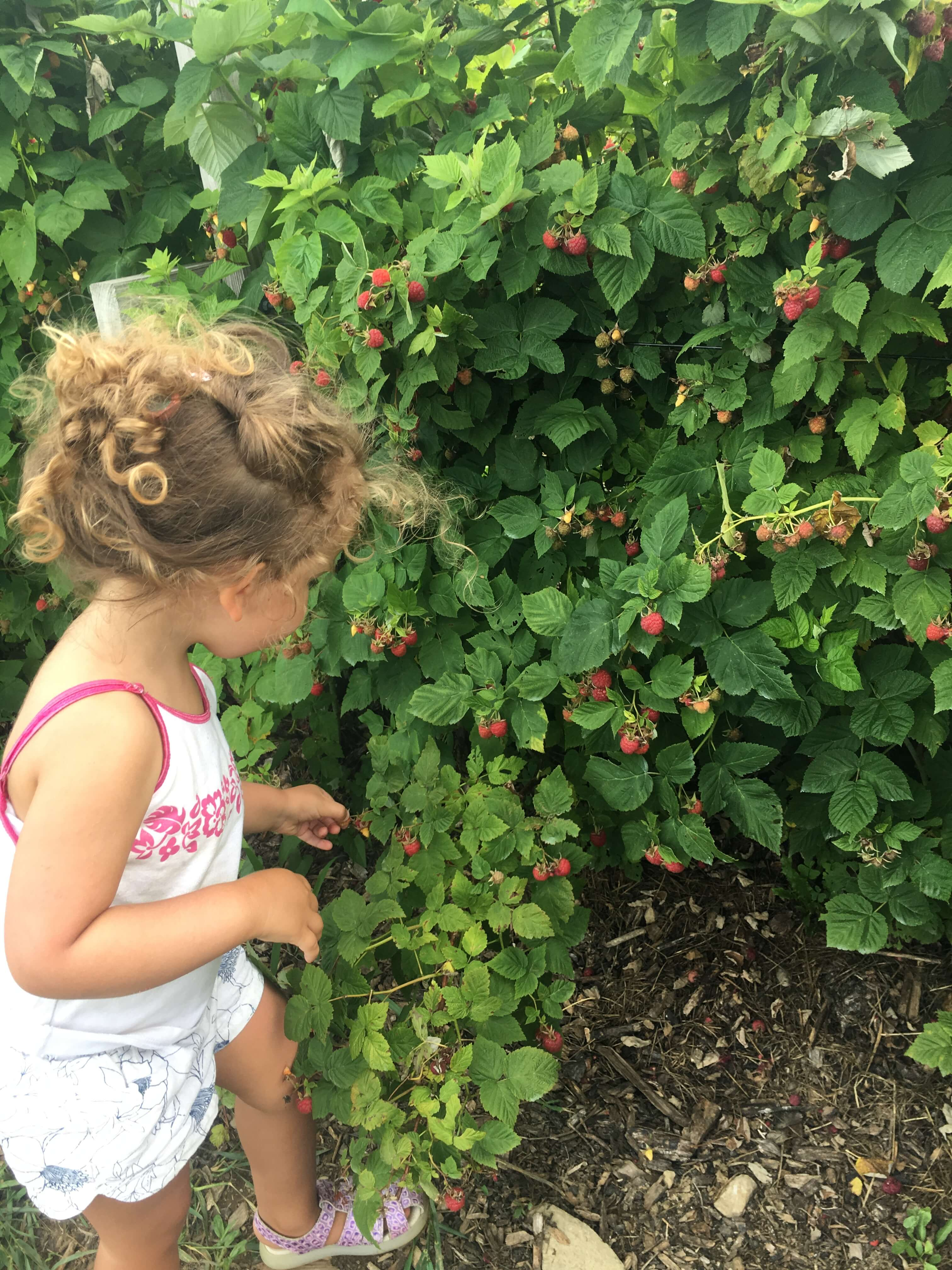 raspberry picking at fishkill farms