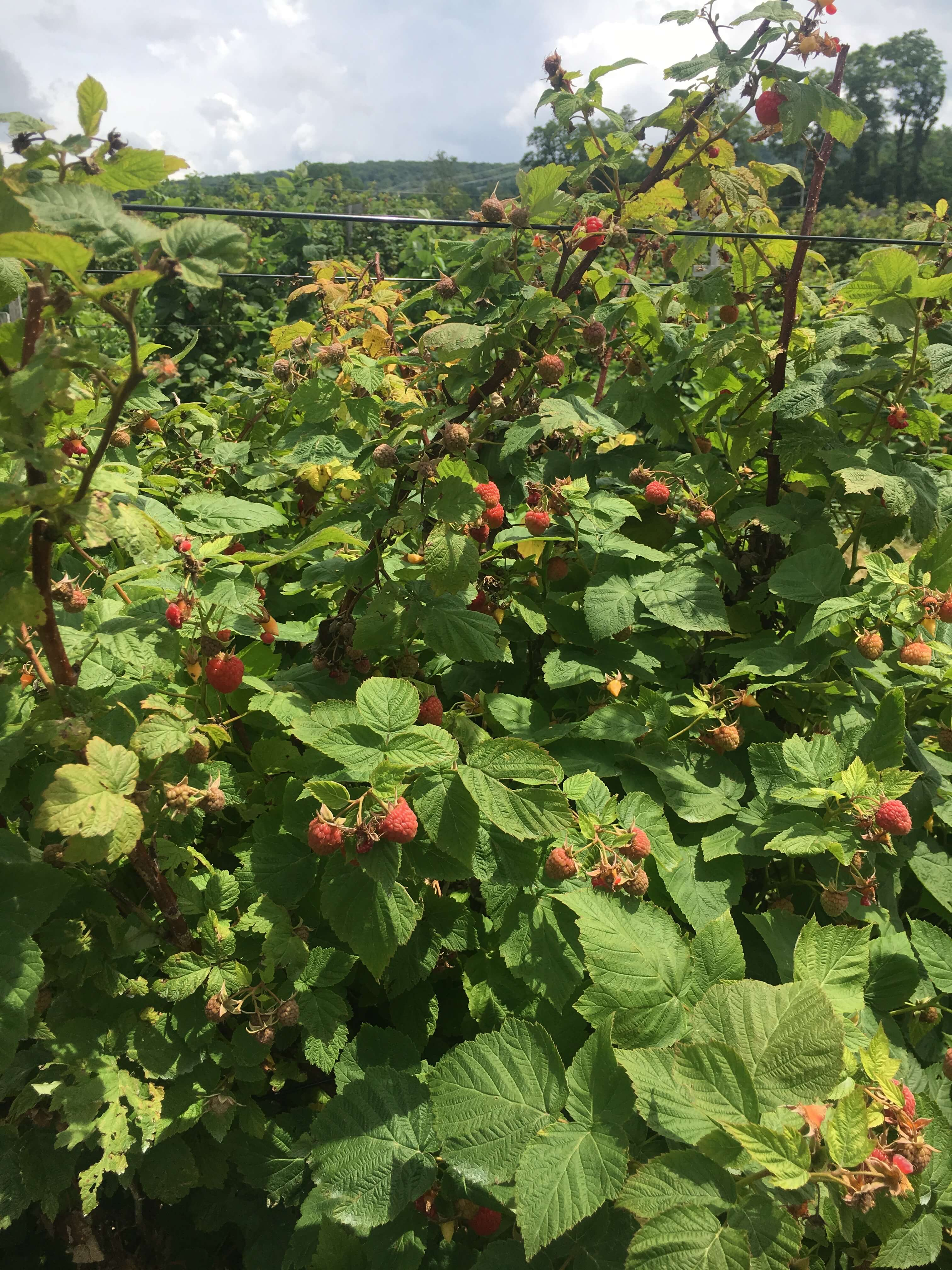 fishkill farms raspberry farm