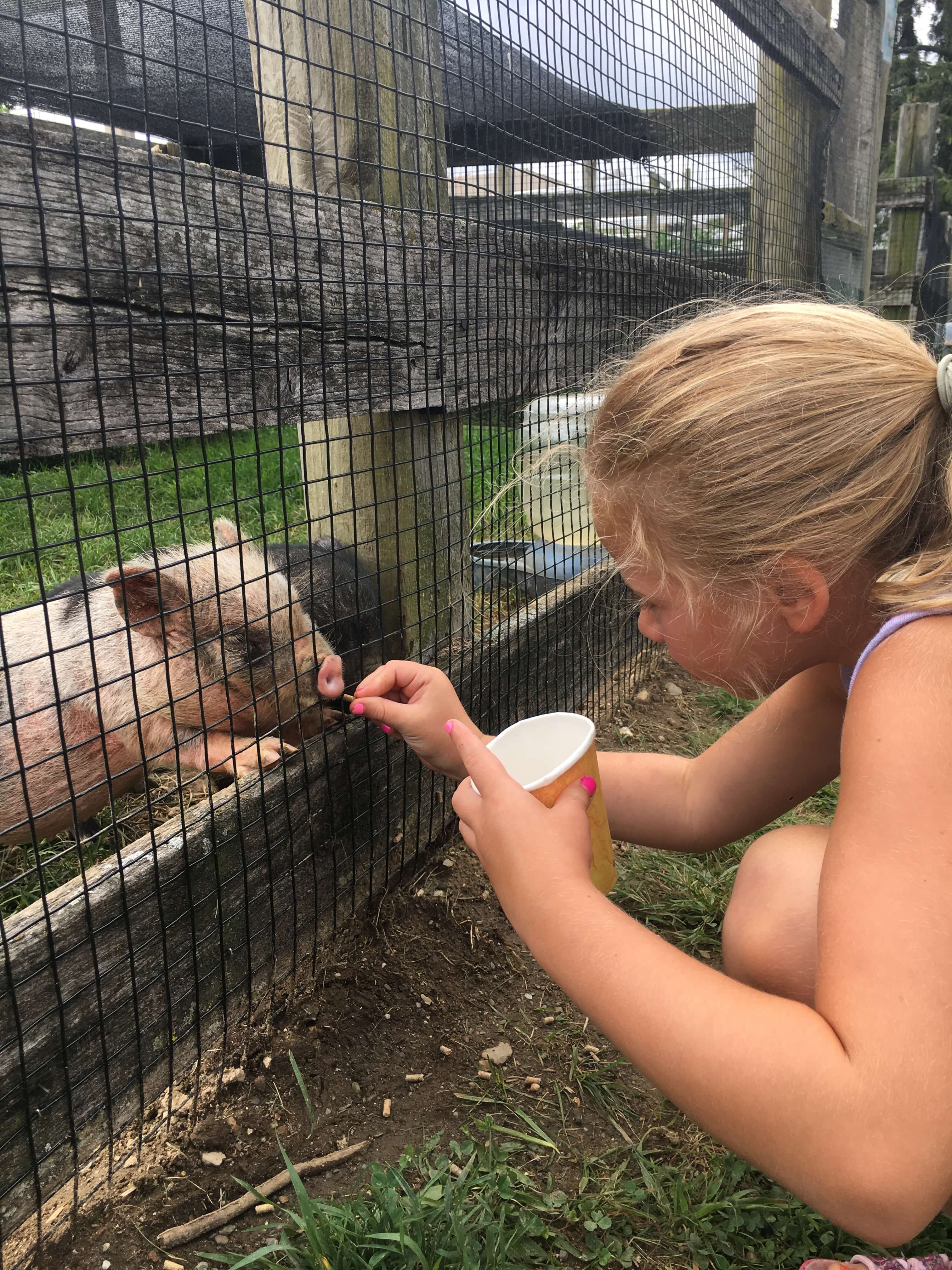 Visit to Rochambeau Farm feed pigs