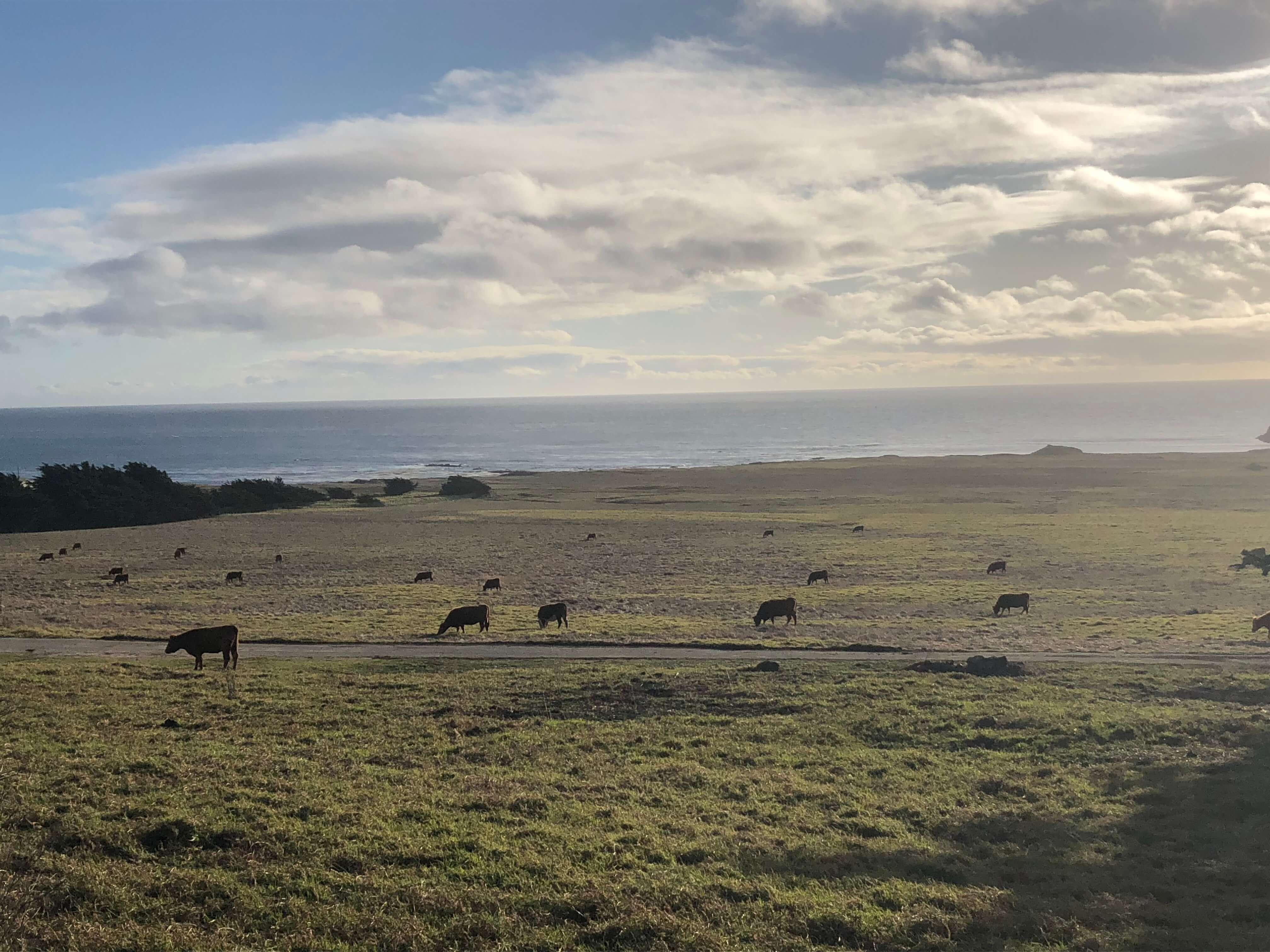 cows in big sur, california