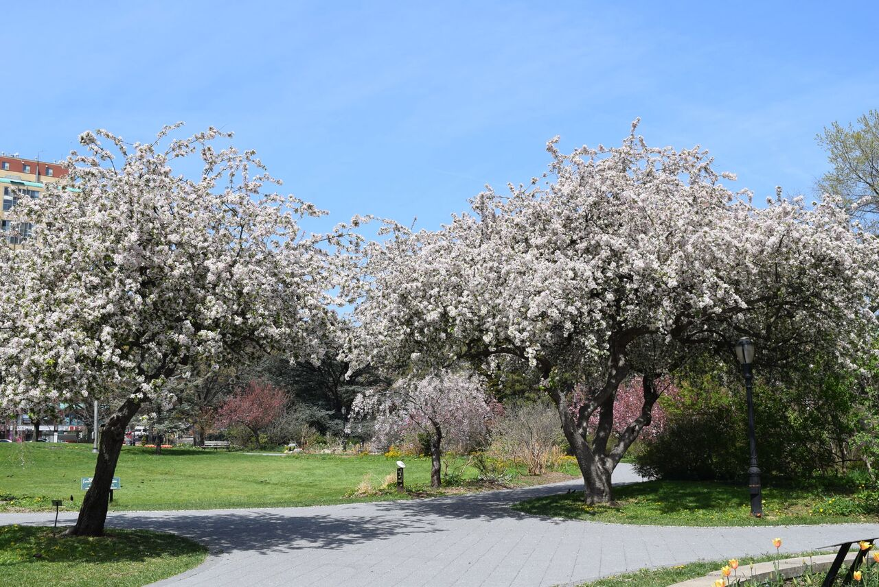 Cherry Blossoms in NYC at Queens Botanical Gardens