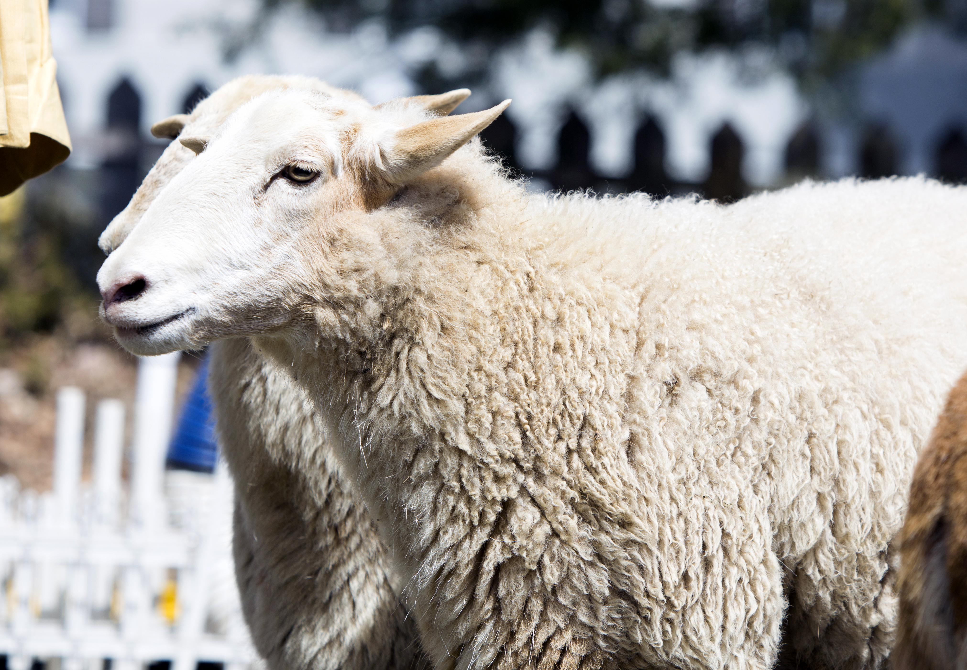 Sheep-to-Shawl Giveaway!