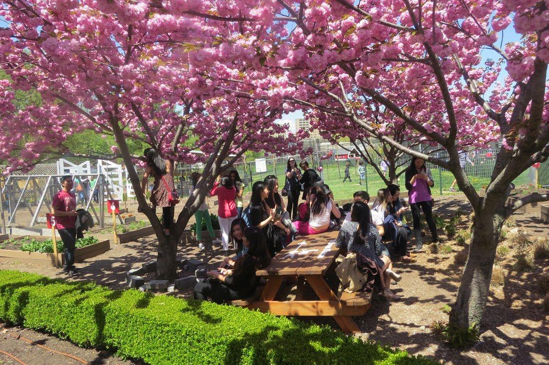 Randall's Island Park cherry blossom festival