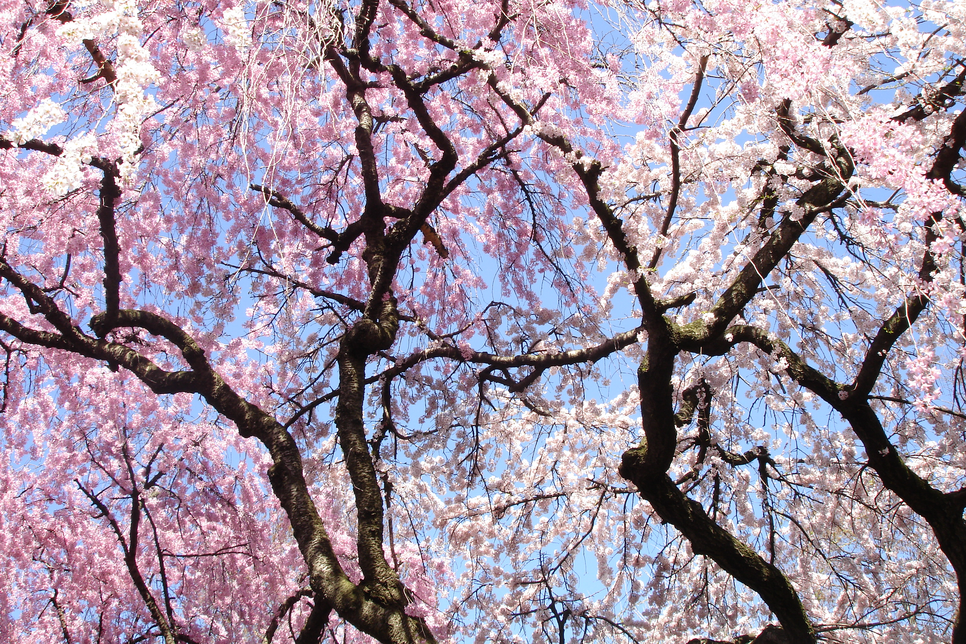 brooklyn botanical gardens cherry blossom festival